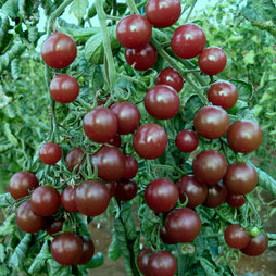 Tomato (cherry) 'Black Opal'