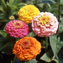 Zinnia elegans 'Cupid' Mixed
