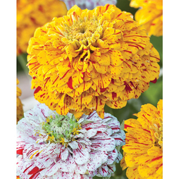 Zinnia elegans 'Pop Art Gold Red & White Mix'