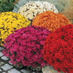 Chrysanthemum 'Paradiso'