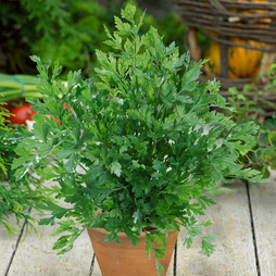 Parsley (Flat leaved)