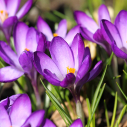 Crocus 'Ruby Giant'