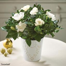 Scented Gardenia 'Snowball' - Gift