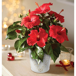 Long-lasting Hibiscus 'Festive Flair' - Gift