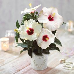 Long-lasting Hibiscus 'Pearl' - Gift