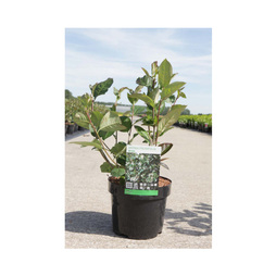 Aronia x prunifolia 'Aron'
