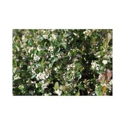 Aronia x prunifolia 'Viking'
