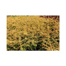 Berberis thunbergii 'Golden Dream'