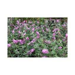Buddleja 'Pink Delight'