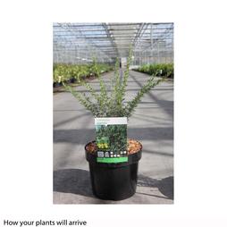Caragana pygmaea