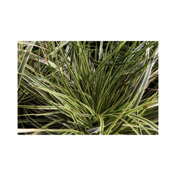 Carex morrowii 'Fisher's Form'