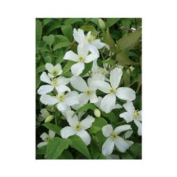 Clematis montana 'Grandiflora'