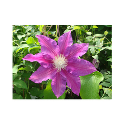 Clematis 'Red Pearl'