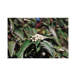 Cornus sericea 'Baileyi'