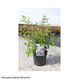 Deutzia purpurea 'Kalmiiflora'