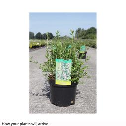 Escallonia 'Donard Seedling'