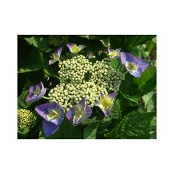 Hydrangea macrophylla 'Blaumeise' (Teller Blue)
