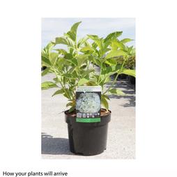 Hydrangea macrophylla 'Mme E. Mouillere'