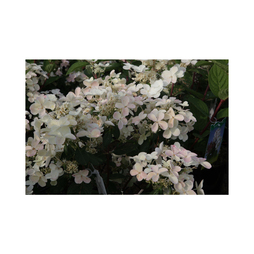 Hydrangea paniculata 'Early Sensation'