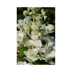 Hydrangea paniculata 'White Diamonds First Edition'