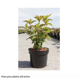 Hydrangea serrata 'Avelroz'