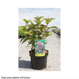 Hydrangea serrata 'Intermedia' (Acuminata)