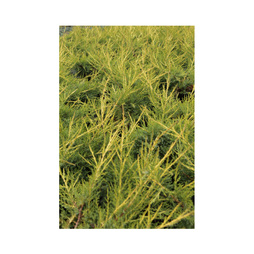 Juniperus chinensis 'Kuriwao Gold'