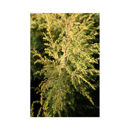 Juniperus communis 'Gold Cone'