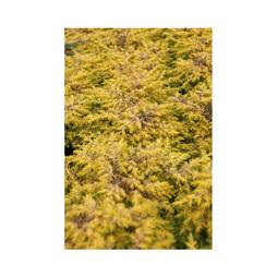 Juniperus conferta 'Allgold'