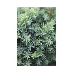 Juniperus rigida subsp. conferta 'Blue Pacific'