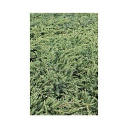 Juniperus rigida subsp. conferta 'Schlager'
