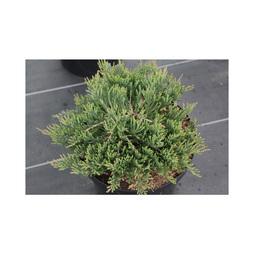 Juniperus horizontalis 'Prostrata'