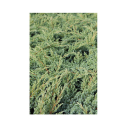 Juniperus squamata 'Blue Swede'
