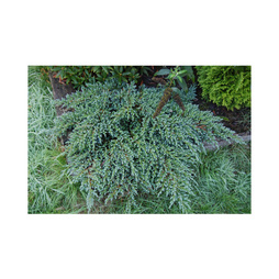 Juniperus squamata 'Little Joanna'