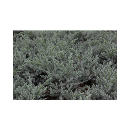 Juniperus squamata 'Tropical Blue'
