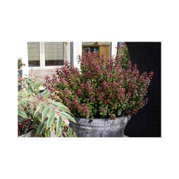Leucothoe axillaris 'Twisting Red'
