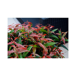 Leucothoe keiskei 'Burning Love'