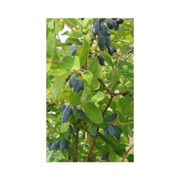 Lonicera kamtschatica 'Myberry Bee'