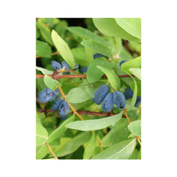 Lonicera kamtschatica 'Myberry Sweet'