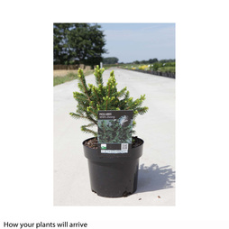 Picea abies 'Wills Zwerg'