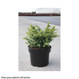 Picea glauca 'Barus'