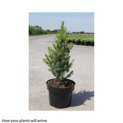 Picea glauca 'Biesenthaler Fruhling'