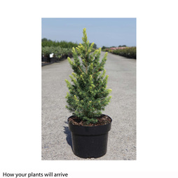 Picea glauca 'Rainbows End'