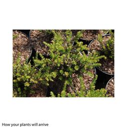Podocarpus 'Guardsman'