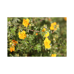 Potentilla fruticosa 'Hopleys Orange'
