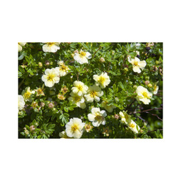 Potentilla fruticosa 'Lemon Meringue' First Editions