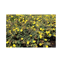Potentilla fruticosa 'Medicine Wheel Mountain'