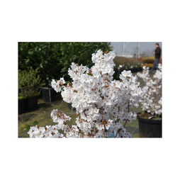 Prunus nipponica 'Brilliant'