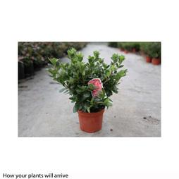 Rhododendron 'Ardeur'