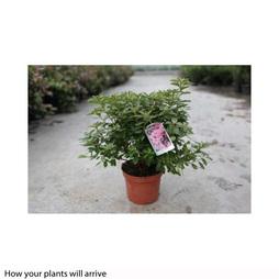 Rhododendron 'Madame AD. van Hecke' (Azalea Group)